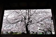 桜 ~一幅の絵画~