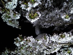 Big Buddha surrounded by cherry blossoms
