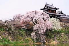 枝垂れ桜 -咲き誇る-