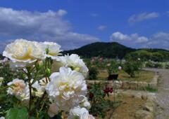 初夏に咲く白いバラ