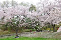 桜 ~ 写し撮る ~