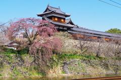 郡山城跡のしだれ桜 ~蕾~