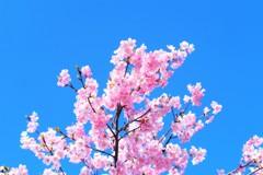 河津桜と青い空