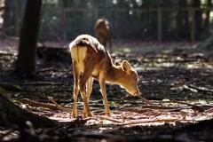 子鹿 - スポットライト -