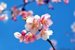 河津桜 -青空に咲く花-