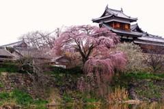 郡山城跡のしだれ桜 ~開花~