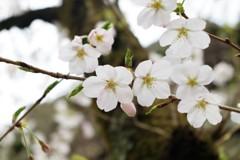 桜 ~美を競う~