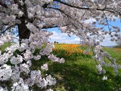 桜の向こうにチューリップ
