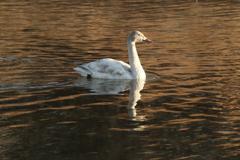 白鳥のいる川・1