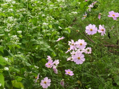 ソバの花とコスモス