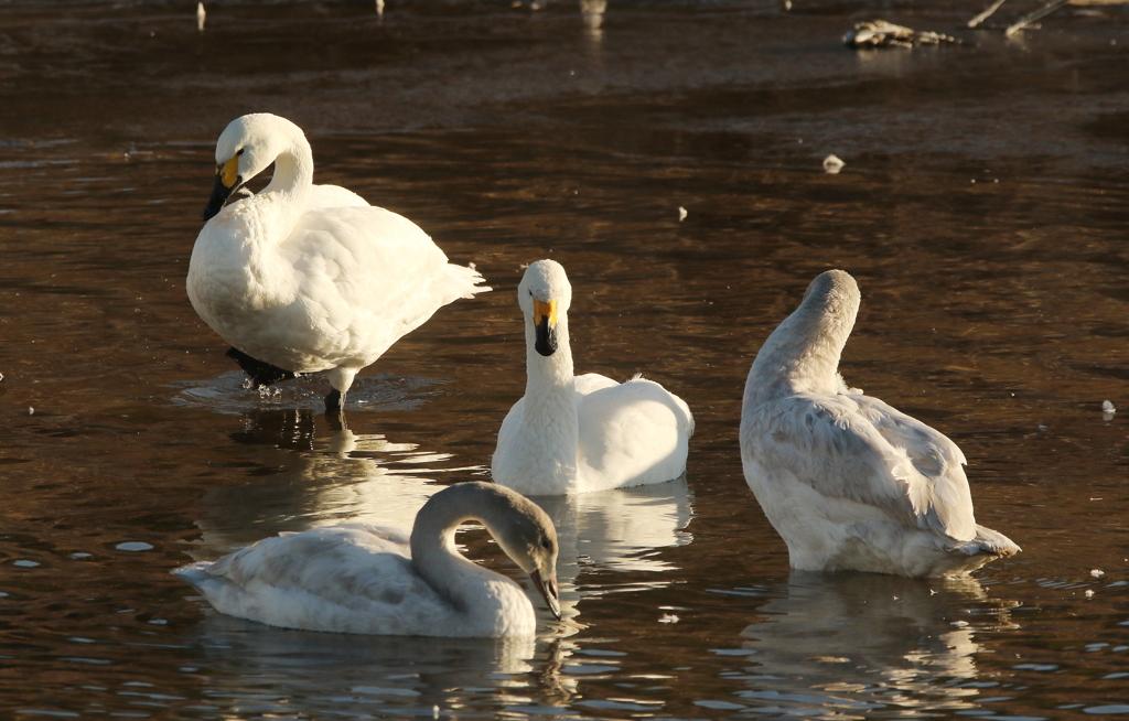 白鳥のいる川・2