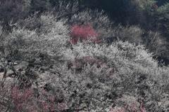 筑波山梅園・1