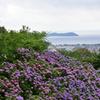 紫陽花と三河湾