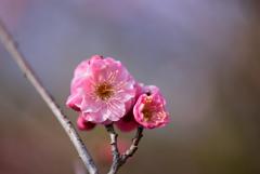 春を告げる紅梅
