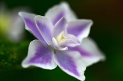 紫陽花への思い1
