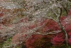 四季桜、乱れ咲き