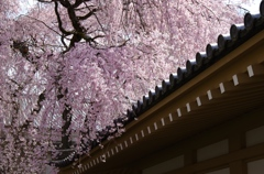 桜満開の京都