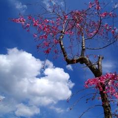 鮮やかな桜です。