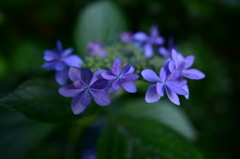 最後の紫陽花6 広角マクロで