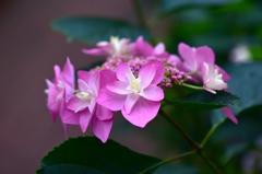 紫陽花への思い2