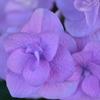 淡紅藤の紫陽花