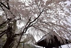 春雨としだれ桜