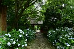 本光寺の紫陽花