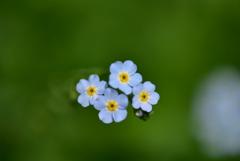 わさび農場のお花