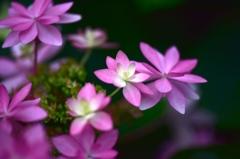 紫陽花への思い3