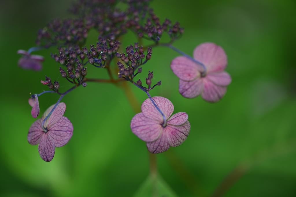 山紫陽花に魅せられて