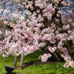 迫力満点 京都の桜