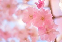 淡紅色の春
