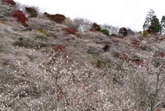 川見四季桜の里