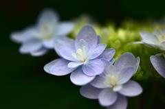 もうすぐだね。紫陽花の季節!
