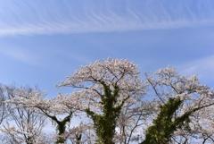 つたのからまる桜