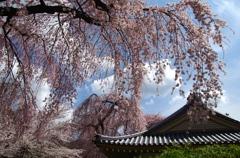 枝垂れ桜と燻し瓦