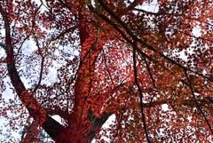 紅葉のカーテンの下で