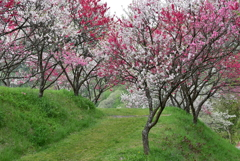 ハナモモの咲く季節