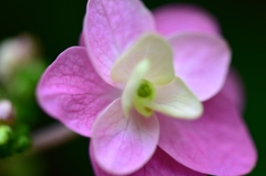 可愛い紫陽花は好きですか?