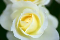 信州にバラを求めて6