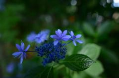 最後の紫陽花5 広角マクロで