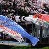 桜の波に鯉泳ぐ