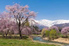 大出公園 桜