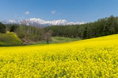 中山高原 菜の花畑