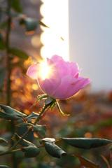 輝く秋バラ