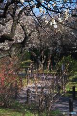 田柄梅林公園