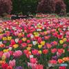 花のオアシスのチューリップ
