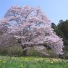 名もなき一本桜
