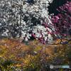 安楽寺の梅