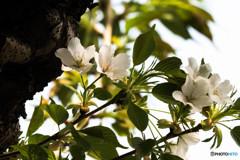 そろそろ名残の桜